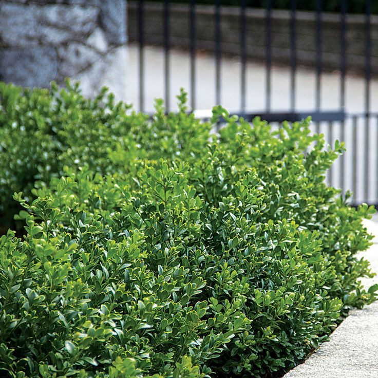 1000+ ideas about Green Velvet Boxwood on Pinterest.