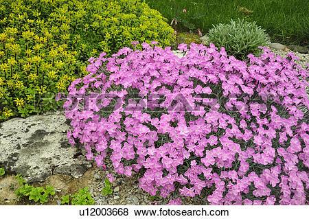 Pictures of Alpine garden plants in bloom (Alpine pink Dianthus.