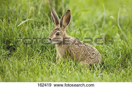 Stock Photograph of young European Hare on meadow 162419.
