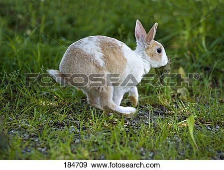 Stock Photograph of Mini Rex Rabbit. Young (3 months old) running.