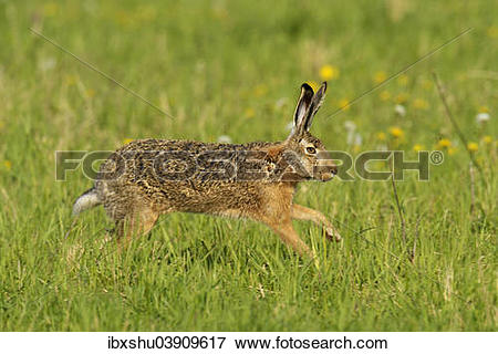 "Picture of ""European Hare or Brown Hare (Lepus europaeus) running."