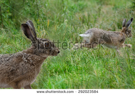 Hare Running Stock Images, Royalty.