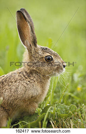 Picture of young European Hare on meadow.