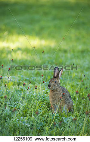 Stock Photograph of Wild hare sitting in a wilderness meadow.