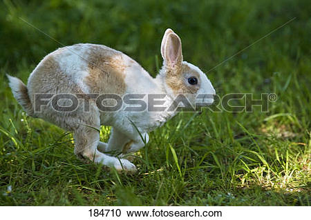 Stock Photography of Mini Rex Rabbit. Young (3 months old) running.