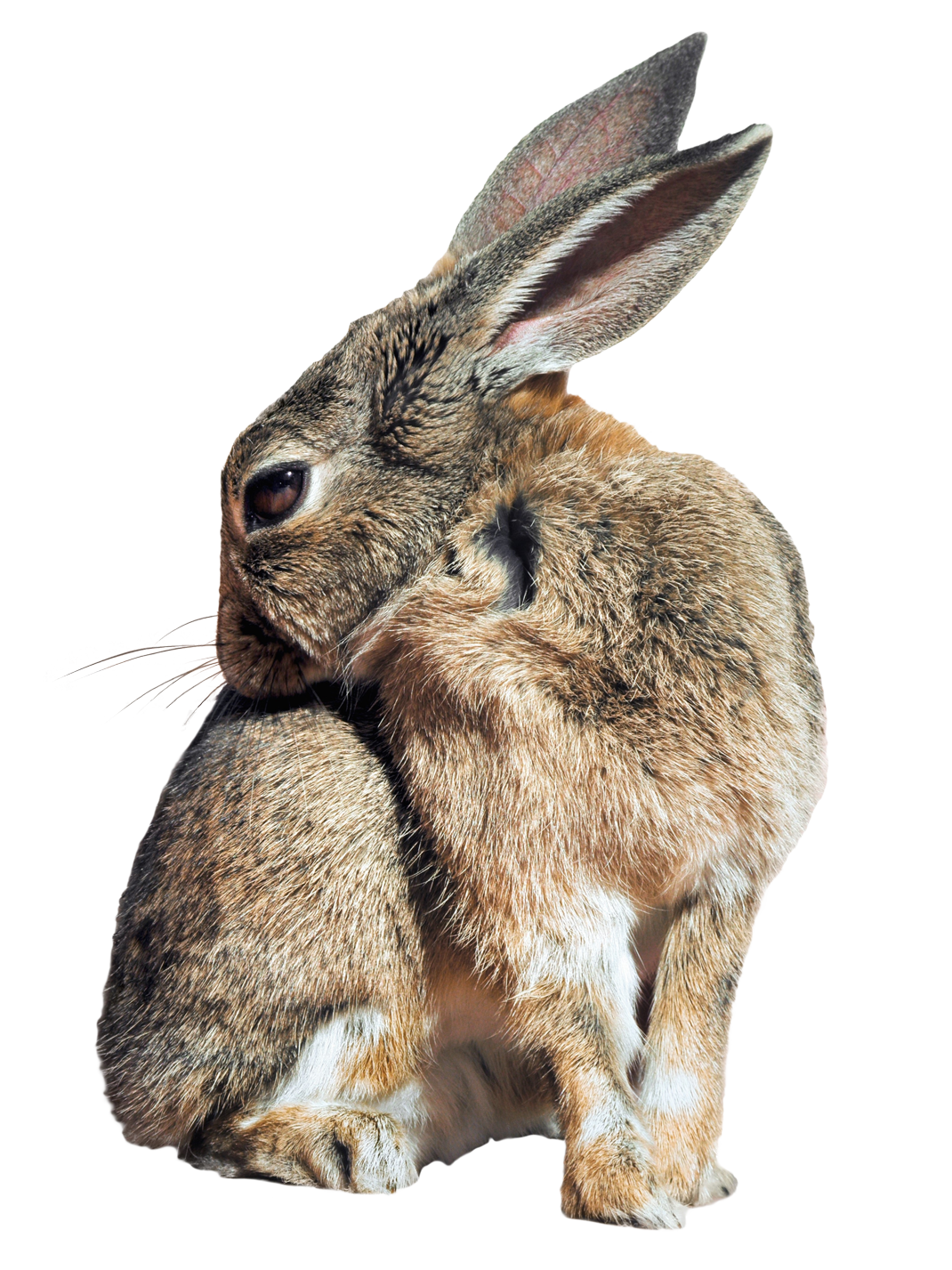 Bunny Rabbit PNG Image.