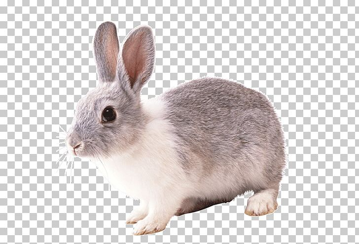 Domestic Rabbit Hare PNG, Clipart, Animals, Cottontail Rabbit.