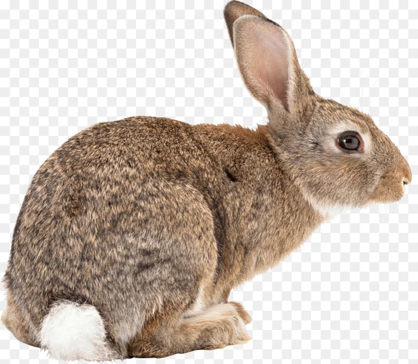 Flemish Giant Rabbit Hare Californian Ra #60232.