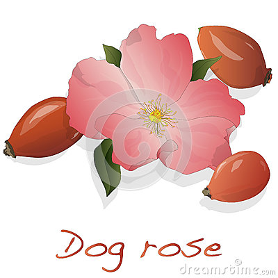 Rose Hip Isolated White Stock Illustrations.
