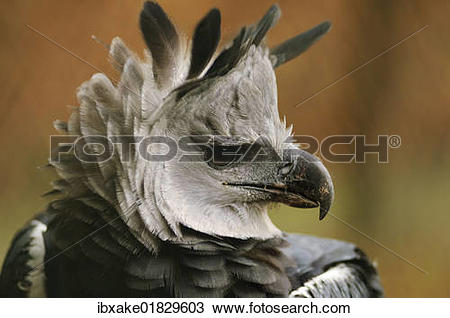 "Stock Photo of ""Harpy Eagle (Harpia harpyja), portrait, in an."