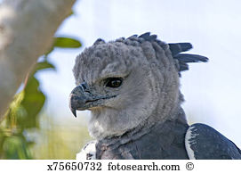 Harpy eagle Stock Photo Images. 54 harpy eagle royalty free images.