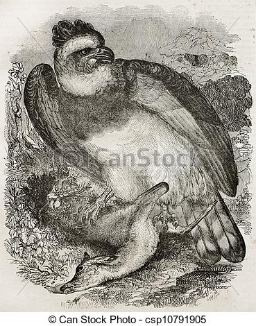 Stock Illustration of Harpy eagle bis.