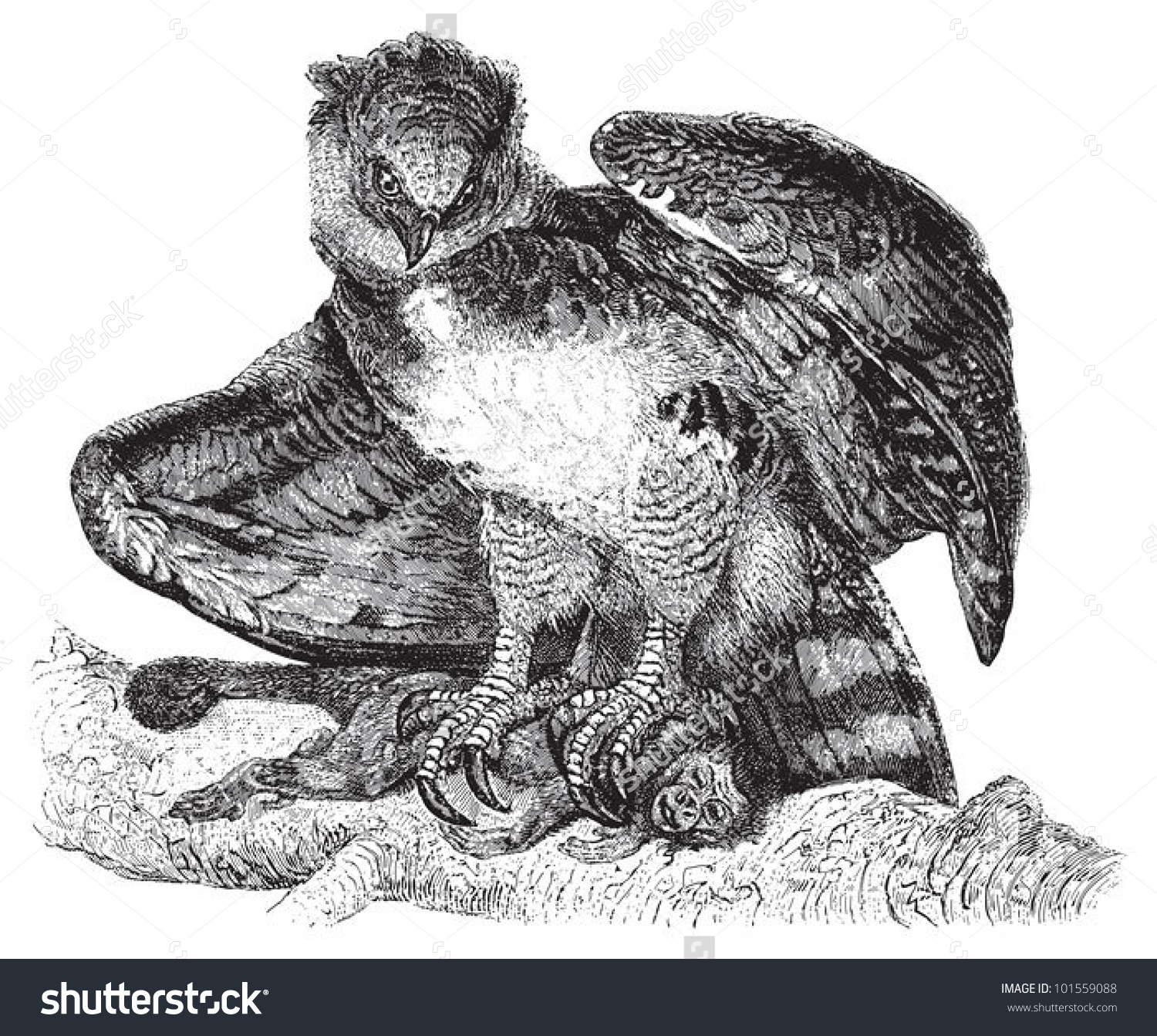 Harpy Eagle Harpia Harpyja Vintage Illustration Stock Vector.