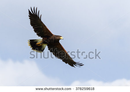 Hawk Stock Images, Royalty.