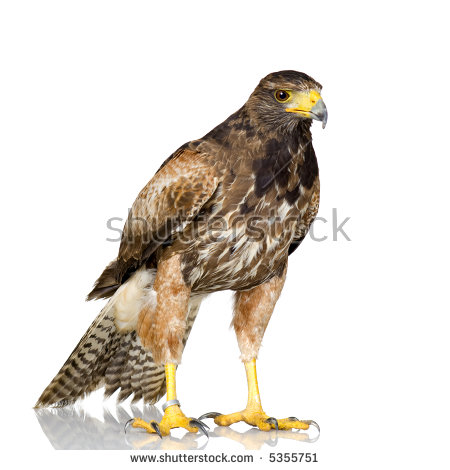 Harris Hawk In Front Of A White Background Stock Photo 5355751.