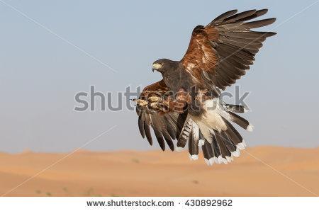 Falcon Hunting Desert Stock Photos, Royalty.