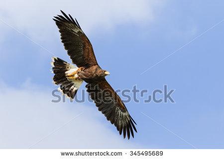 Hawk In Flight Stock Photos, Royalty.
