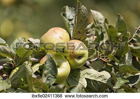 "Pictures of ""Styrian apples, Buchberg near Herberstein, Stubenberg."