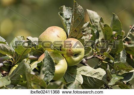 """Pictures of """"Styrian apples, Buchberg near Herberstein, Stubenberg."""