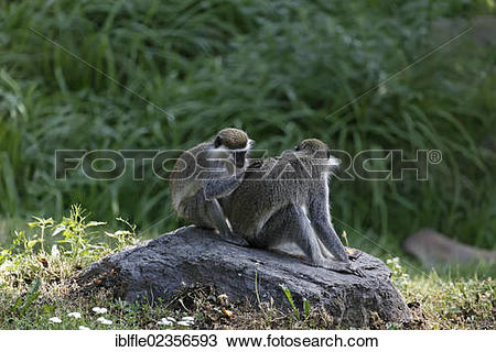 "Stock Photo of ""Grivets (Chlorocebus aethiops), Tierwelt."