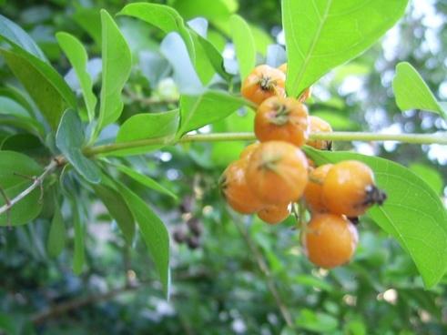 Goji berry free stock photos download (472 Free stock photos) for.
