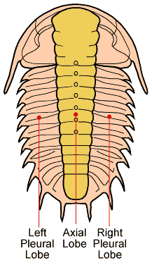 Trilobiten.