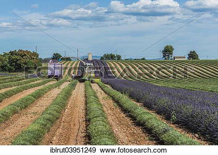 "Stock Photograph of ""Lavender harvest in Valensole, Plateau de."