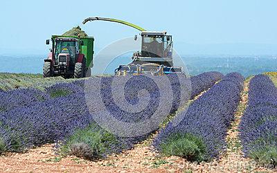 Lavender Harvest Stock Photo.