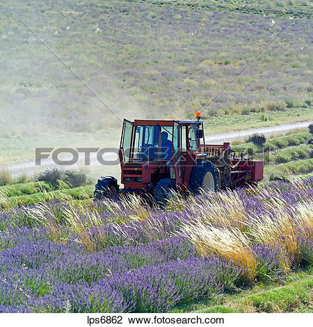 Stock Photo of tractor harvesting a lavender field provence france.