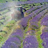 Pictures of tractor harvesting a lavender field provence france.