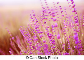 Picture of Lavender field..