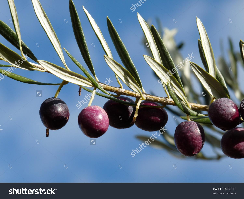 Black Purple Olives On Olive Tree Stock Photo 66430117.