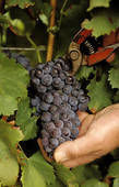 Picture of Cutting a bunch of grapes during the vendange/harvest.