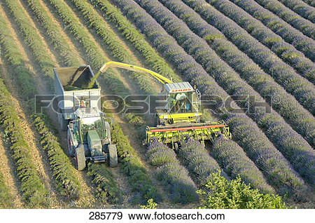 Stock Photograph of High angle view of tractor harvesting lavender.