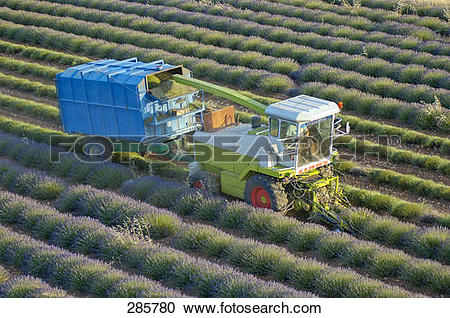 Stock Photography of Harvesting machine in lavender field, Alpes.