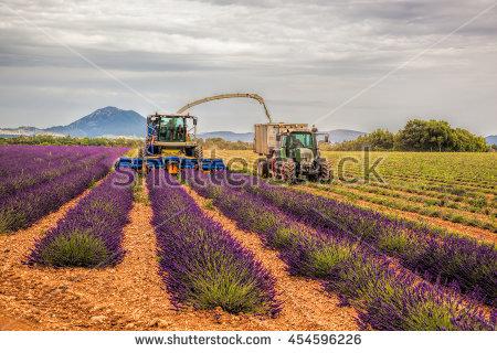 Lavender Harvest Stock Photos, Royalty.