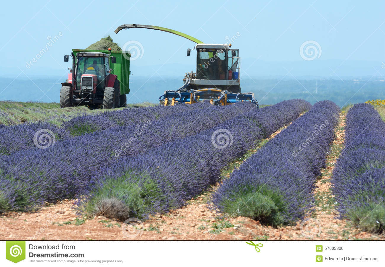Lavender Harvest Stock Photo.