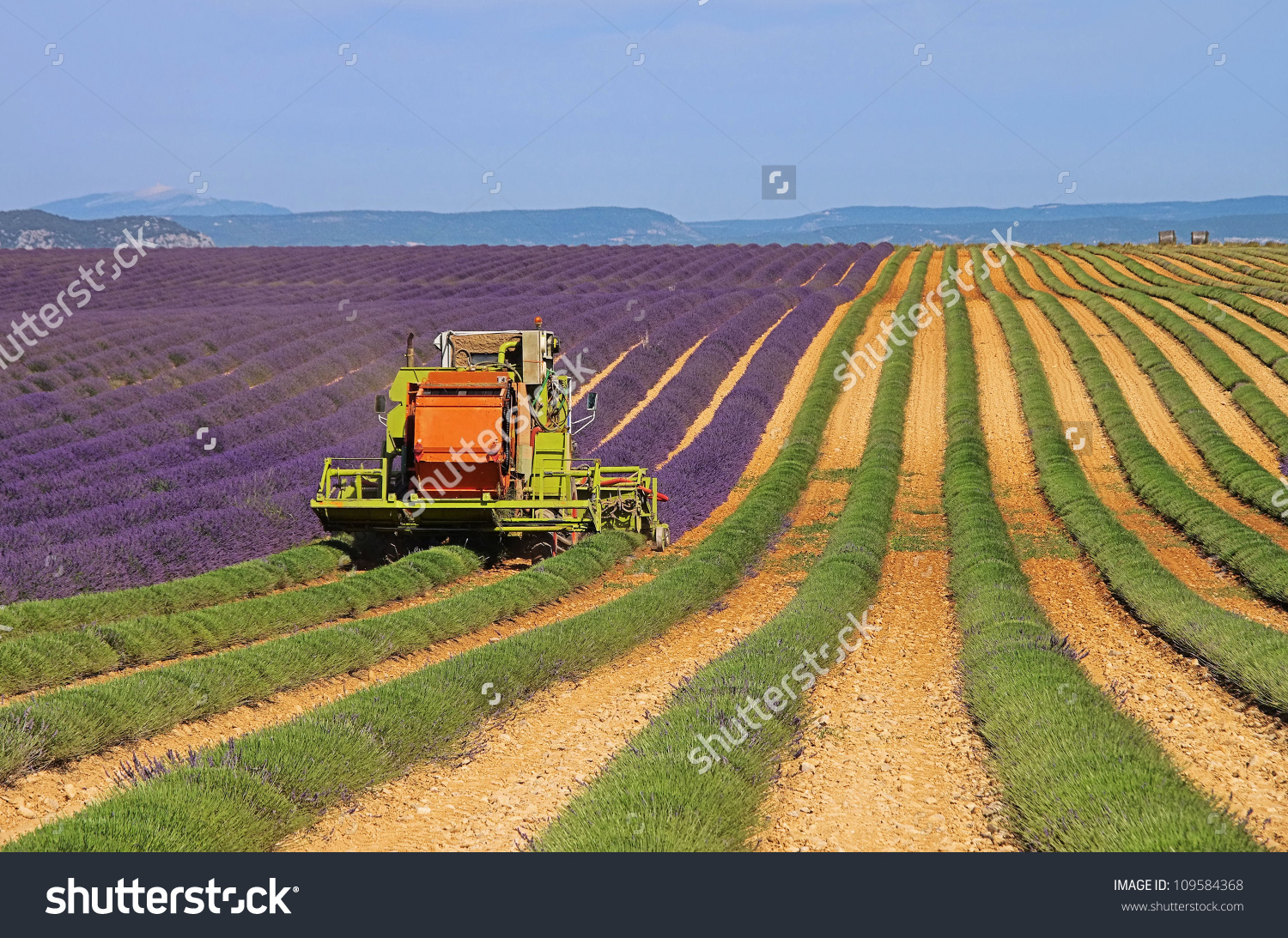 Lavender Field Harvest Stock Photo 109584368 : Shutterstock.