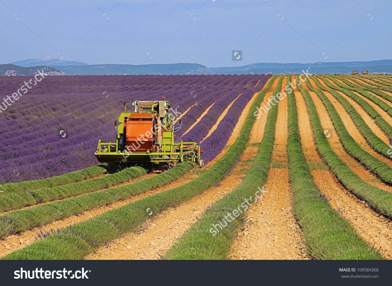 Lavender Field Harvest Stock Photo 109584368 : Shutterstock.