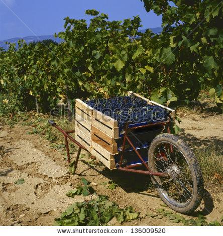 Wine Harvest Stock Photos, Royalty.