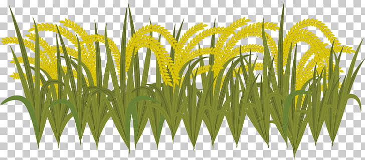 Sweet Grass Yellow Wheatgrass Commodity Plant stem, harvest.