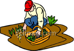 Garden Harvesting In Field Clipart.