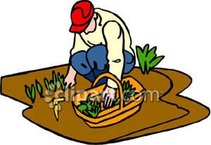 Garden Harvesting In Field Clipart.
