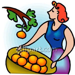Harvesting Oranges.