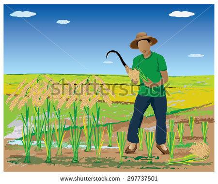 Farmer Harvest Rice Paddy Field Vector Stock Vector 297737501.