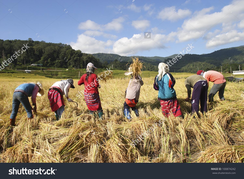 Karen Tribe Harvesting Rice Paddy Stock Photo 100874242.