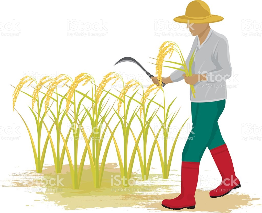 Rice Paddy Clip Art, Vector Images & Illustrations.