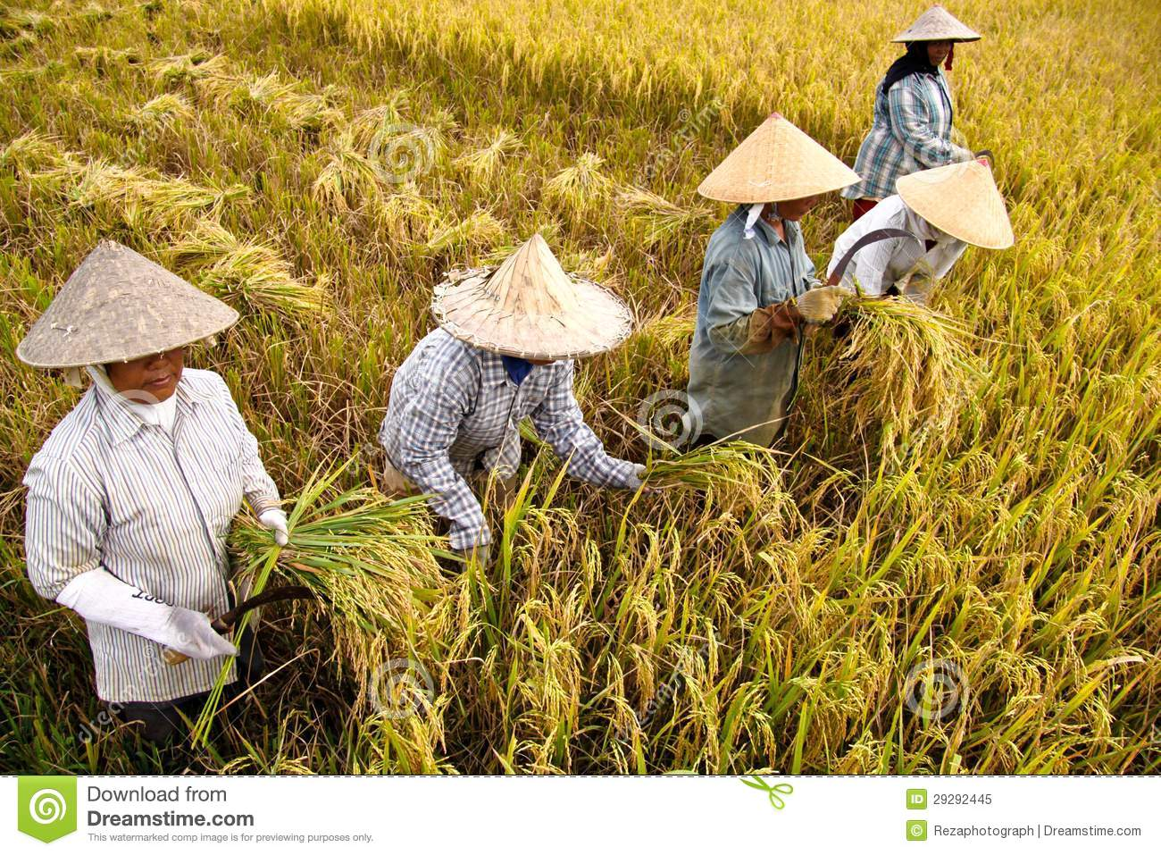 Harvest Rice Editorial Image.
