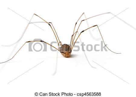 Pictures of Daddy Long Legs Spider.
