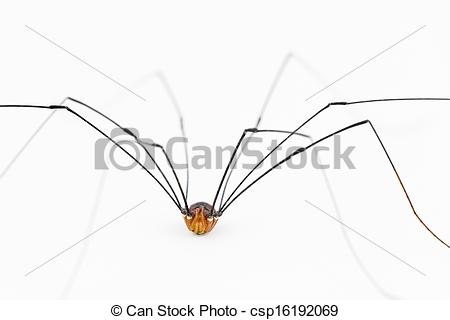 Stock Image of Close up of harvestman 'spider'.